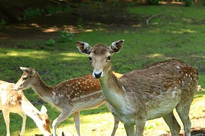 deer in the homeowners association